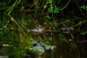 American alligator—juvenile (Alligator mississippiensis)