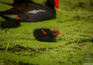 Common moorhen—juvenile (Gallinula chloropus)