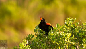 Red-winged blackbird—male (Agelaius phoeniceus)
