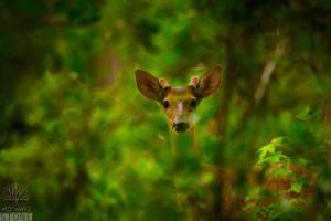 White-tailed deer—male (Odocoileus virginianus)