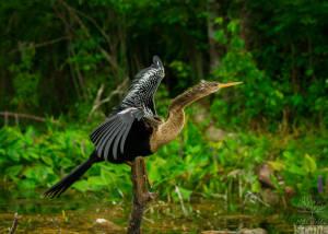 Anhinga—female (Anhinga anhinga)