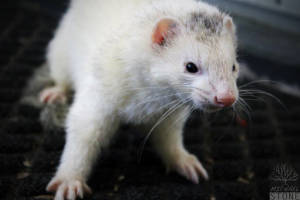 Domesticated ferret (Mustela putorius furo)