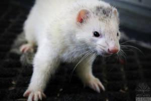 Domesticated ferret (Mustela putorius furo)