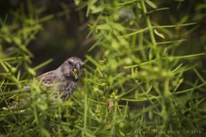 Large ground-finch—female (Geospiza magnirostris)