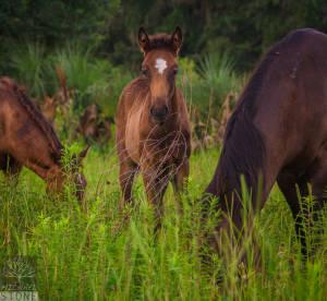 """Feral, popularly """"wild,"""" horse—juvenile (Equus ferus caballus)"""