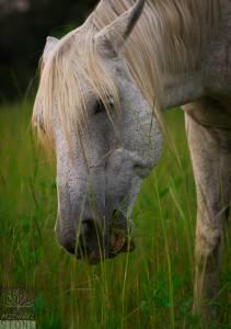 """Feral, popularly """"wild,"""" horse—adult (Equus ferus caballus)"""