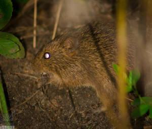 Hispid cotton rat (Sigmodon hispidus)