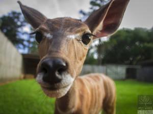 Lesser kudu—juvenile (Tragelaphus imberbis) NEAR THREATENED