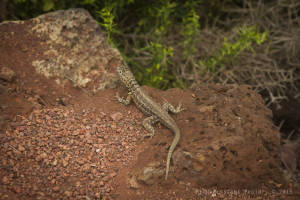 Indefatigable lava lizard (Microlophus indefatigabilis)