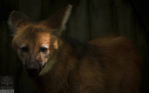 Maned wolf (Chrysocyon brachyurus) NEAR THREATENED