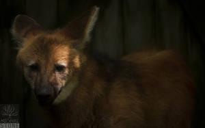 Maned wolf (Chrysocyon brachyurus) NEAR THREATENED