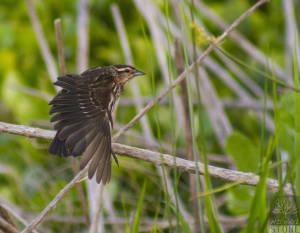 Red-winged blackbird—female (Agelaius phoeniceus)