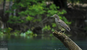 Black-crowned night heron—juvenile (Nycticorax nycticorax)