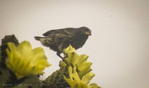 Common cactus-finch (Geospiza scandens)