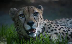 Cheetah—adult (Acinonyx jubatus) VULNERABLE