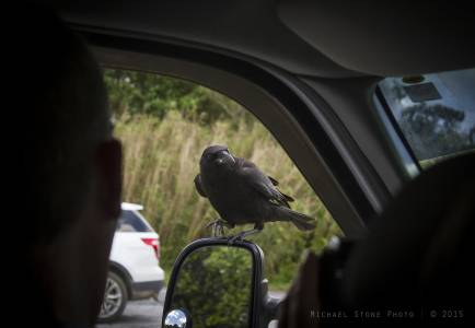 American crow (Corvus brachyrhynchos) OR fish crow (Corvus ossifragus)