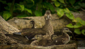 Wood duck—female with ducklings (Aix sponsa)