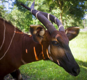 Eastern bongo—female (Tragelaphus eurycerus isaaci) CRITICALLY ENDANGERED