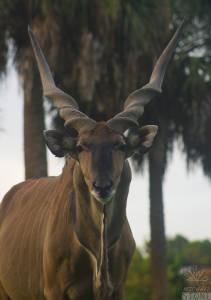 Giant eland (Tragelaphus derbianus)