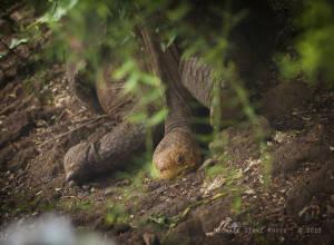 Espanola Giant Tortoise (Chelonoidis nigra hoodensis) CRITICALLY ENDANGERED