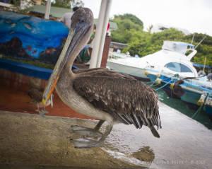 Galapagos brown pelican (Pelecanus occidentalis urinator)