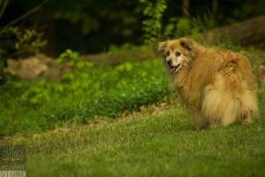 Domestic dog (Canis familiaris)