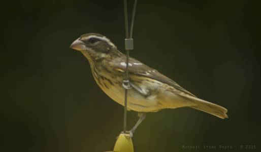 Rose-breasted grosbeak—female (Pheucticus ludovicianus)