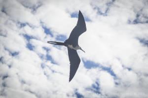 Magnificent frigatebird—juvenile (Fregata magnificens)