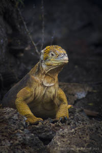 Common land iguana (Conolophus subcristatus) VULNERABLE