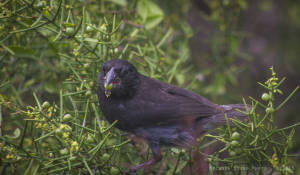 Large ground-finch—male (Geospiza magnirostris)