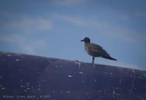Lava gull (Larus fuliginosus) VULNERABLE