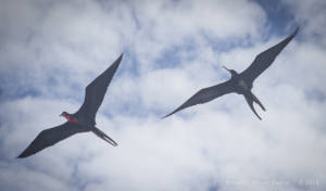 Magnificent frigatebird—male (left) and female (Fregata magnificens)
