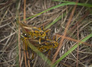 Eastern lubber grasshopper—adult (Romalea guttata)