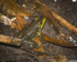American bullfrog—juvenile (Lithobates catesbeianus)