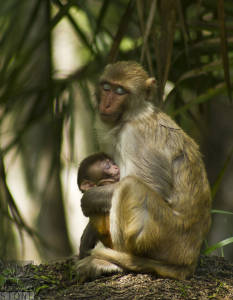 Rhesus monkey—adult and juvenile (Macaca mulatta)
