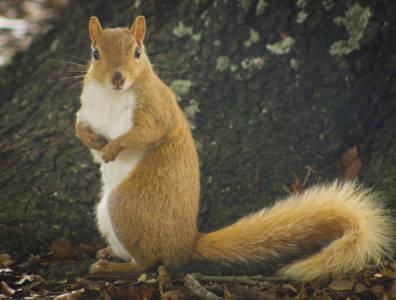 Eastern gray squirrel—orange color morph (Sciurus carolinensis)