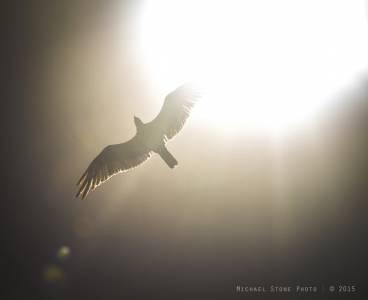 Osprey (Florida Keys, 2015)