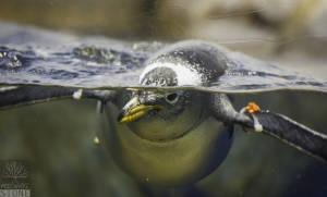 Gentoo penguin (Pygoscelis papua) NEAR THREATENED