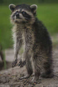 Northern raccoon—adult (Procyon lotor)