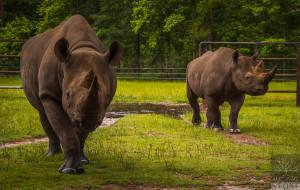 Black rhinoceros (Diceros bicornis) CRITICALLY ENDANGERED