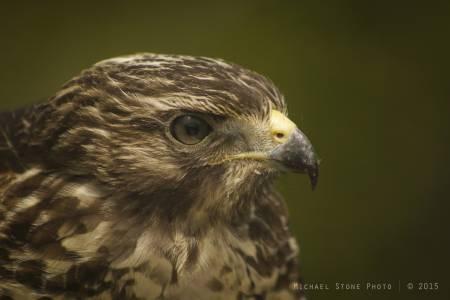 Red-shouldered hawk (Florida Everglades, 2015)