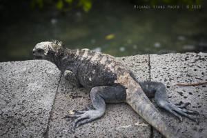 Galapagos marine iguana (Subspecies: Amblyrhynchus cristatus hassi) VULNERABLE