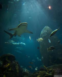 Sandbar shark (Carcharhinus plumbeus) VULNERABLE