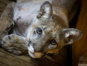 Florida panther (Puma concolor coryi) ENDANGERED, as classified by the U.S. Fish & Wildlife Service