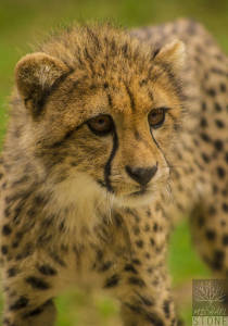 Cheetah—juvenile (Acinonyx jubatus) VULNERABLE