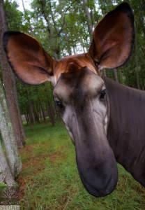 Okapi—female (Okapia johnstoni) NEAR THREATENED
