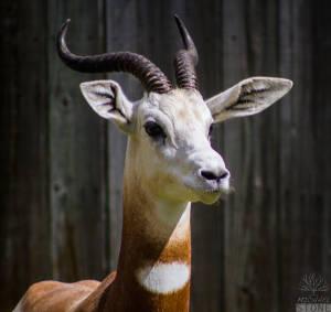 Dama gazelle—adult (Nanger dama) CRITICALLY ENDANGERED