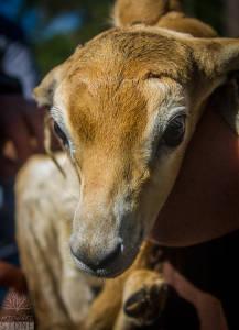 Dama gazelle—juvenile (Nanger dama) CRITICALLY ENDANGERED
