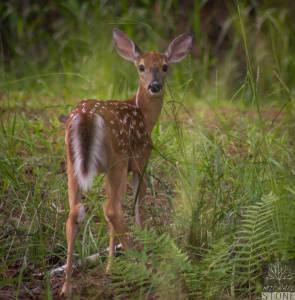 White-tailed deer—juvenile (Odocoileus virginianus)