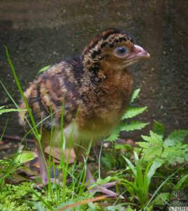 Helmeted curassow—juvenile (Pauxi pauxi) ENDANGERED
